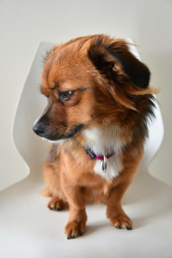 Little puppy dog sitting on a chair. Portrait of a cute little crossbreed puppy dog sitting on a white chair royalty free stock photography