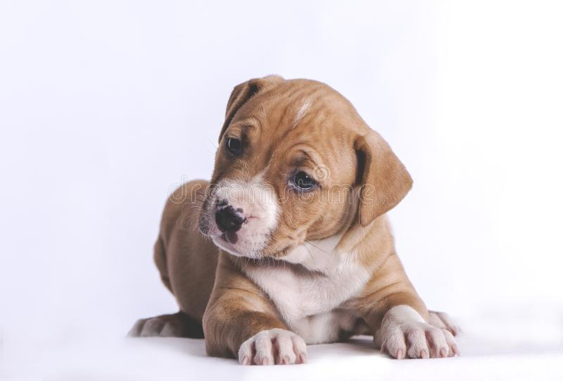 Little puppy. Little dog puppy in studio stock images