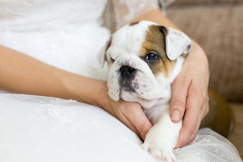 Little puppy of English bulldog in hands of woman. Little white and brown puppy of English bulldog in hands of woman or girl wearing white dress royalty free stock images