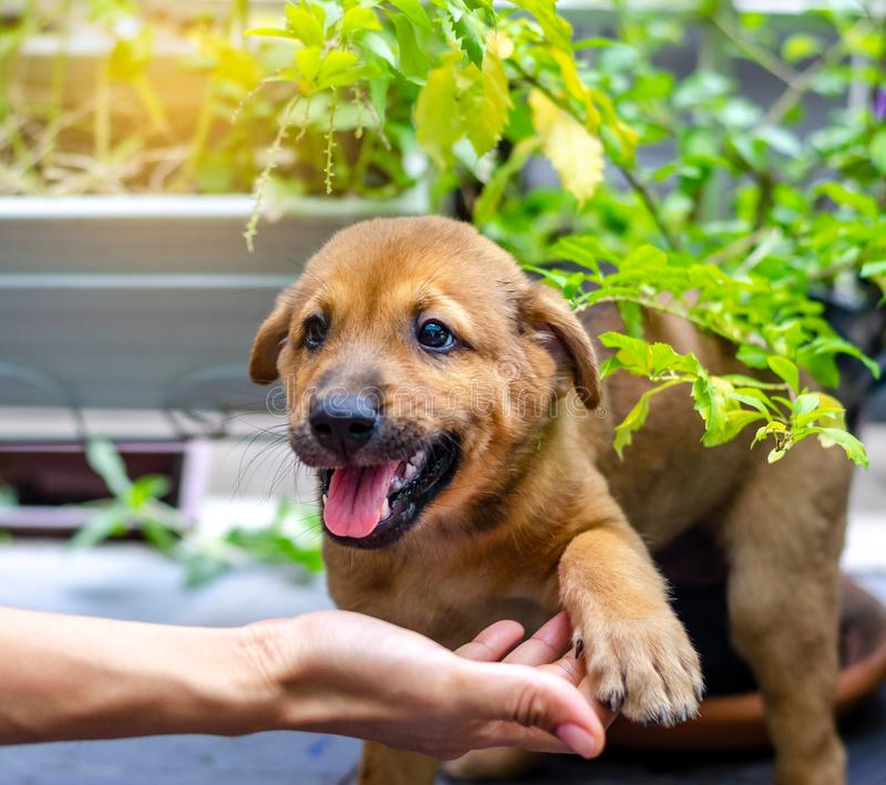 Little puppy giving its paw touch to a hand. The concept of trust and friendship.  royalty free stock photography