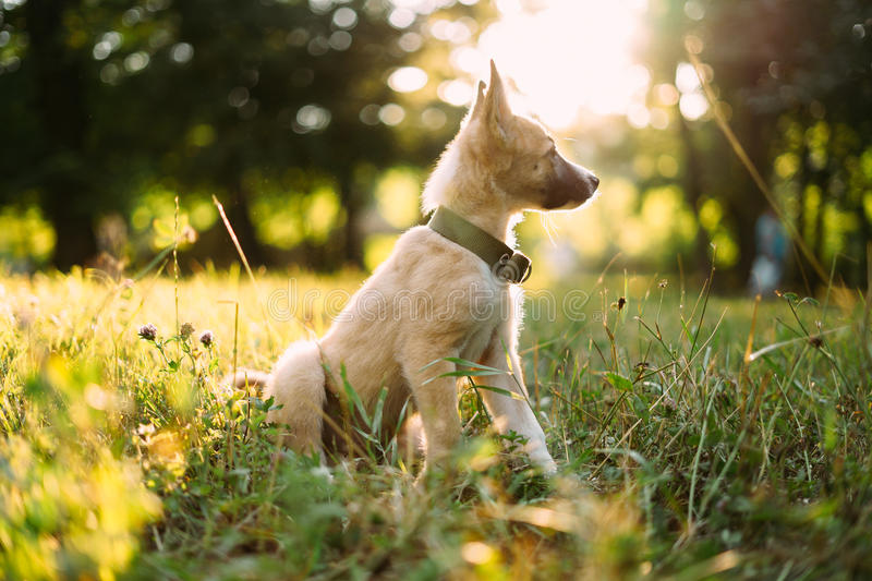 Little puppy on the grass. Little cute puppy in a collar lies on the grass stock photography