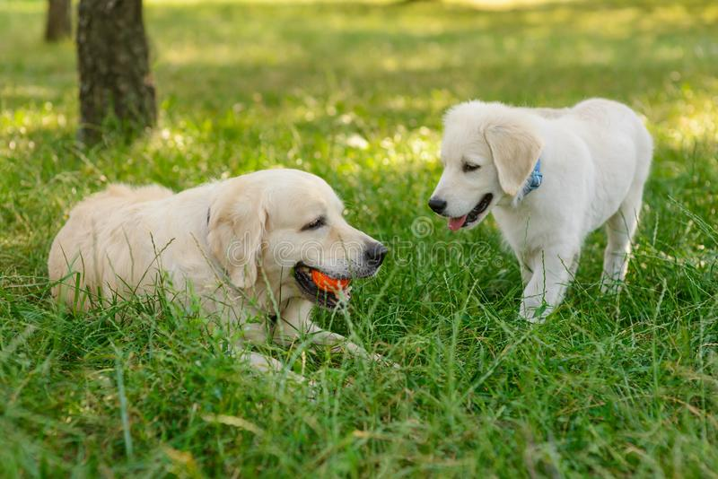 Little puppy with his mother. In the foreground. The elder dog lies on the grass with an orange ball in the mouth stock photos