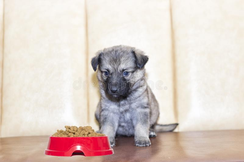 Little puppy. At home on sofa royalty free stock images