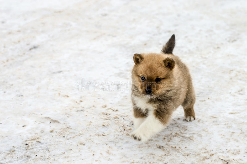 Little puppy Karelo Finnish Laika sports outdoors. A little puppy played outside in the snow royalty free stock images