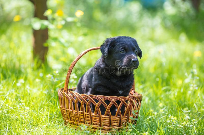 Little puppy sits in a basket on the grass. Little puppy of labrador retriever sits in a basket on the grass in a garden royalty free stock photos
