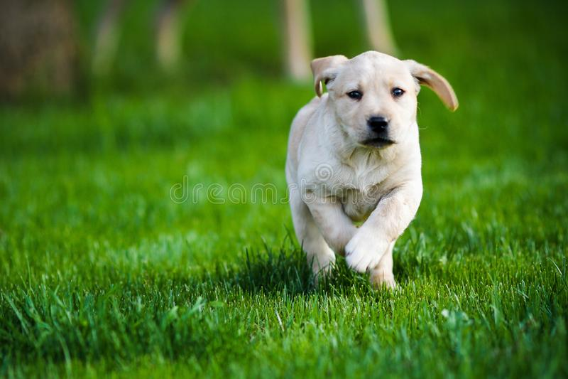 A little puppy of labrador is running in the garden stock photos