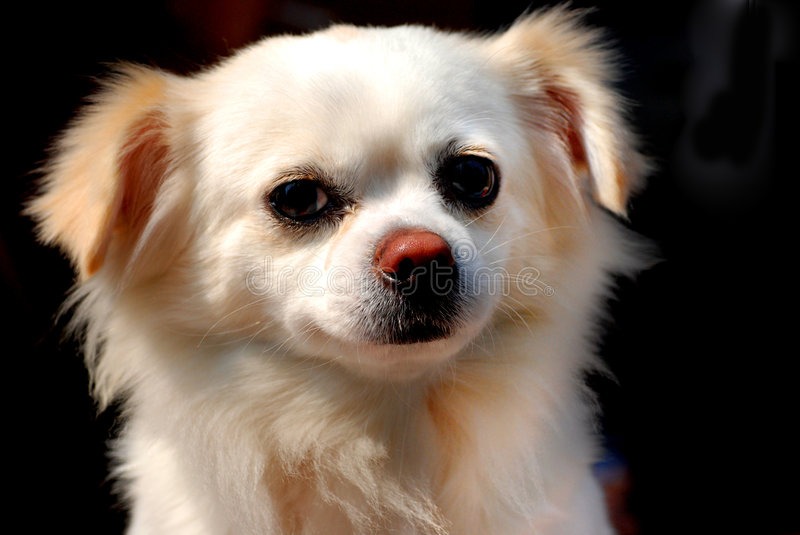 A little puppy look at me. A little fluffy puppy look at me royalty free stock image
