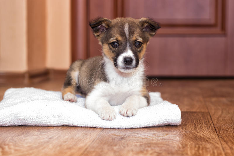 Little puppy looks. A cute little puppy looks royalty free stock image