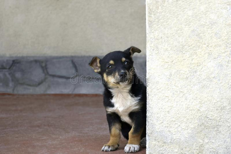 A little puppy peeking out from behind a corner. A black puppy with white breast and brown paws sits on the floor and carefully looks into the camera. Close-up royalty free stock image