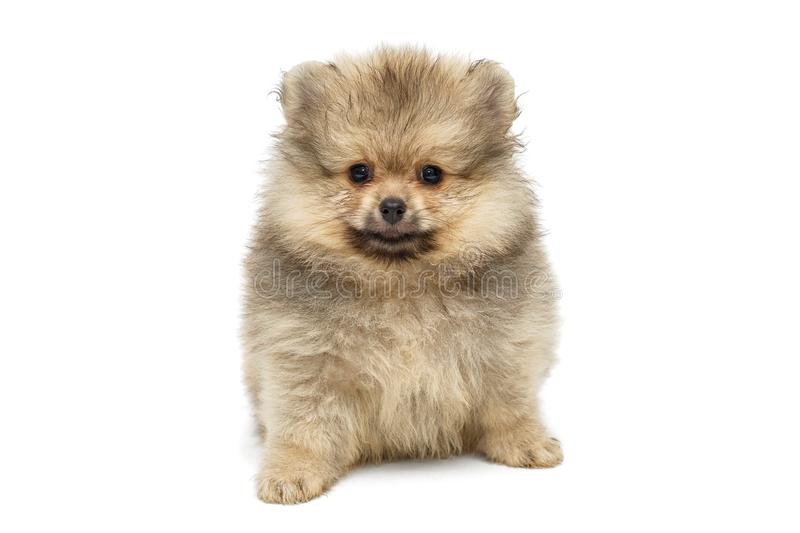 Little puppy Pomeranian Spitz stock image