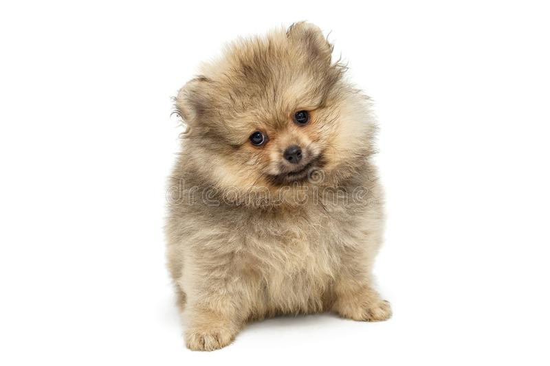 Little puppy Pomeranian Spitz stock photo