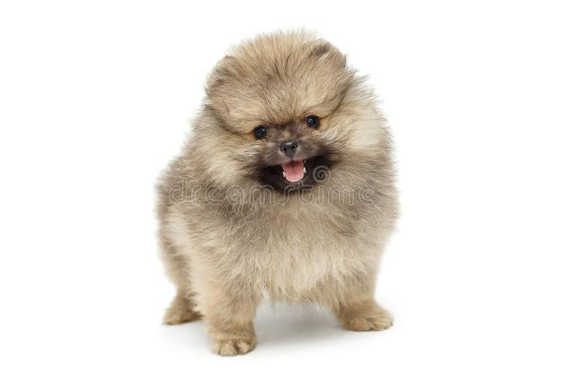 Little puppy Pomeranian Spitz royalty free stock photo