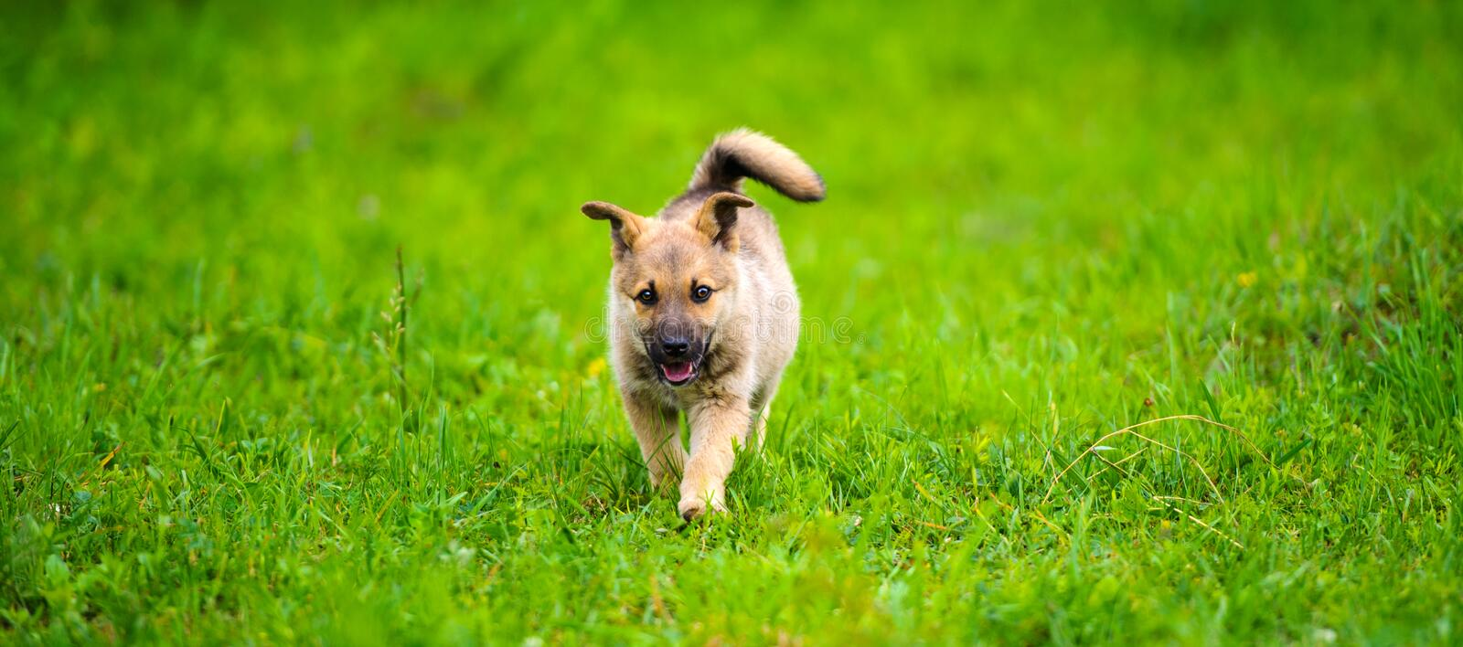 Little puppy is running happily with floppy ears trough a garden with green grass. Outside, fun, small, adorable, animal, background, beautiful, black, breed stock photo