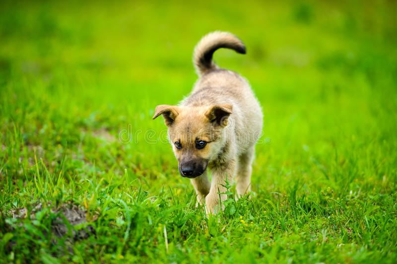 Little puppy is running happily with floppy ears trough a garden with green grass. Beautiful, breed, adorable, animal, background, black, brown, canine, cute royalty free stock photo