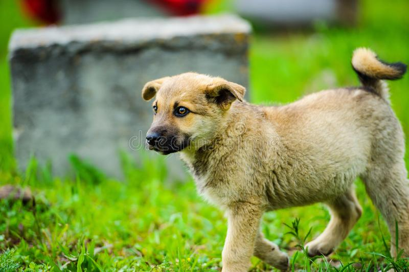 Little puppy is running happily with floppy ears trough a garden with green grass. Beautiful, breed, adorable, animal, background, black, brown, canine, cute stock photos