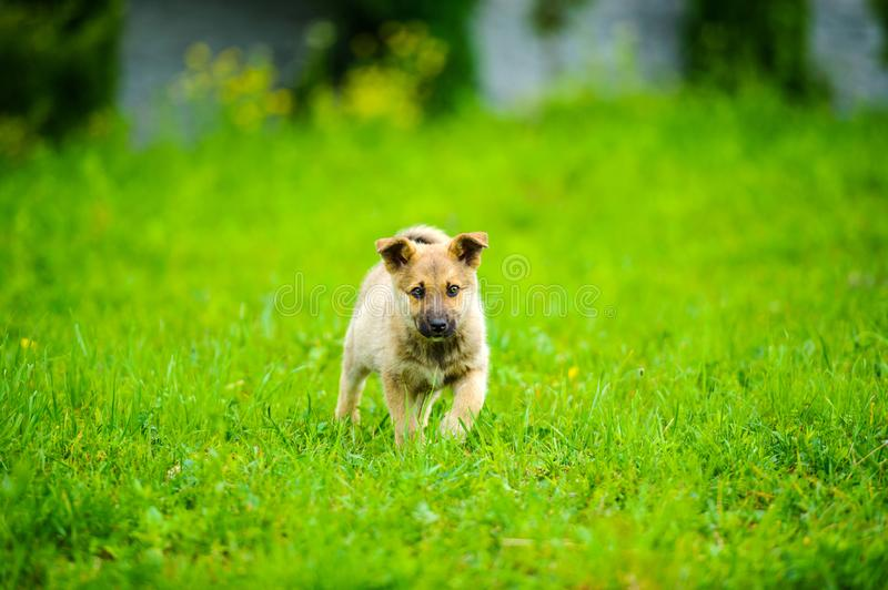 little puppy is running happily with floppy ears trough a garden with green grass royalty free stock image
