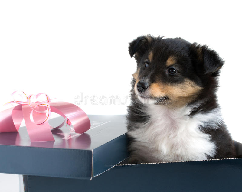 Little puppy Sheltie in a gift box. On a white background royalty free stock images