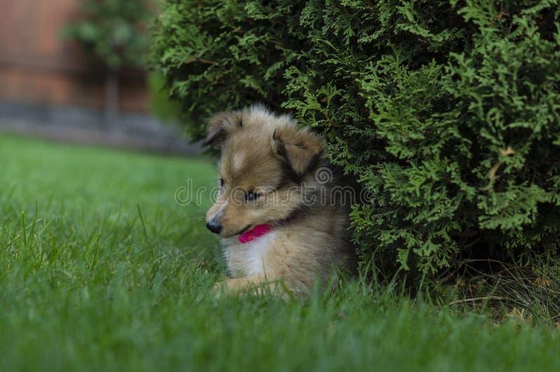 Little puppy Shetland Shepherd royalty free stock photography