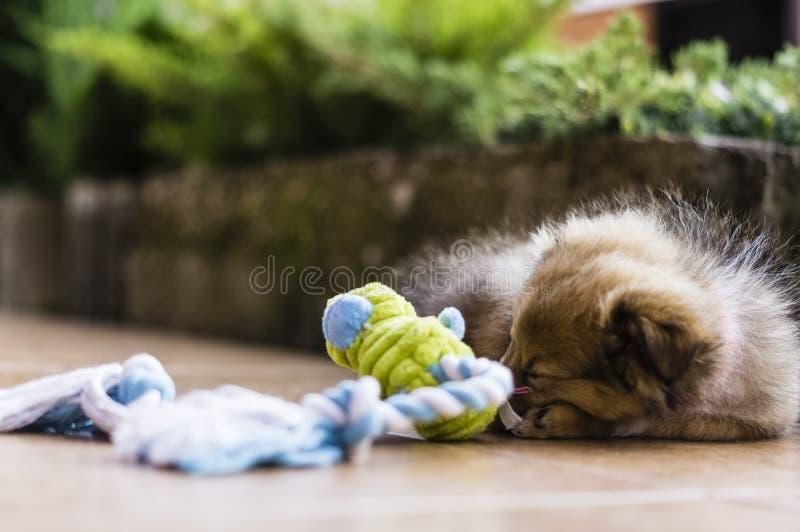 Little puppy Shetland Shepherd royalty free stock photo