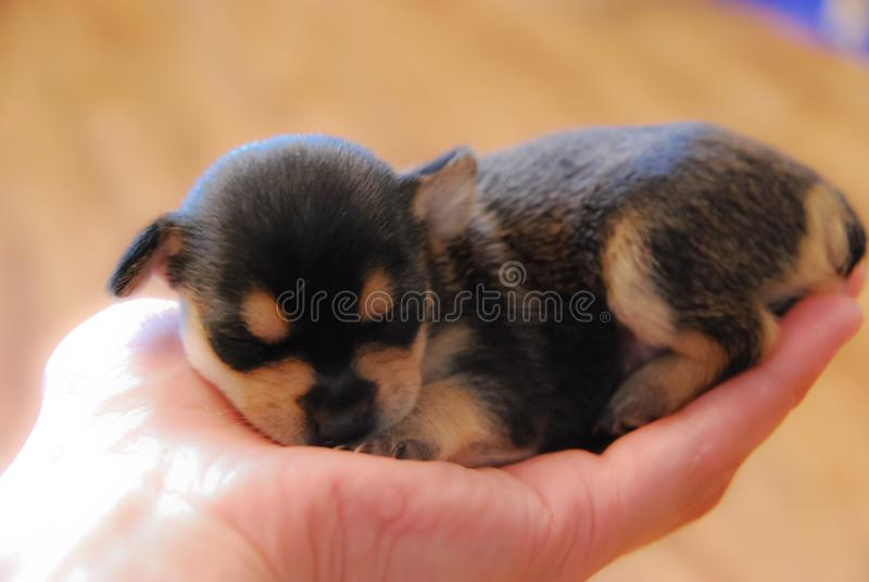 A little puppy is lying on the hand. Little puppy sleeping on girl`s hand royalty free stock photography