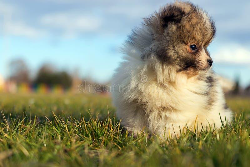 Little puppy. Small Pomeranian puppyPomeranian spitz-dog stock images