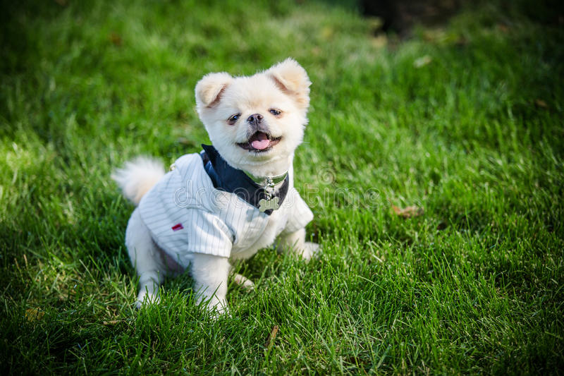 Little puppy. He smiles and shows his tiny canine teeth. A very little puppy is running happily a garden with green grass. It almost looks like he can fly. He stock image