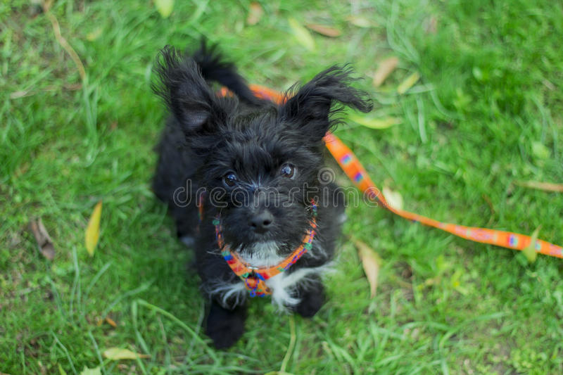 Little puppy staring. At the camera stock photos