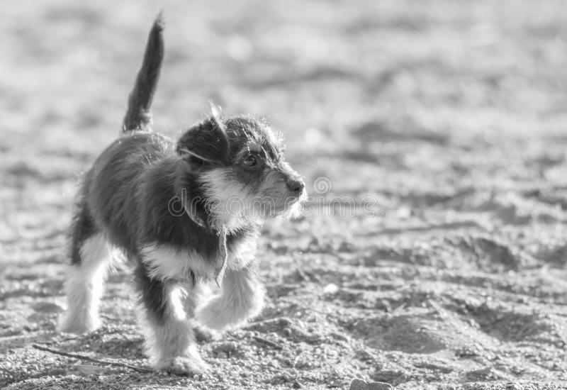 Little puppy walking on the sand of the beach. An adorable puppy walks entertaining with his tail raised by the sand of the beach watching what happens around stock images
