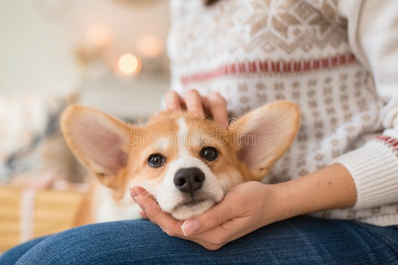 Little puppy Welsh Corgi Cardigan lies on the couch on the lap of a girl. In a white sweater stock photo