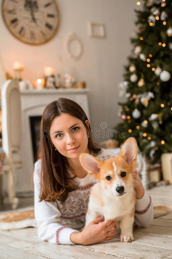 Little puppy Welsh Corgi Cardigan plays with his leash with a girl in a white sweater. In front of a fireplace and a Christmas tree stock image