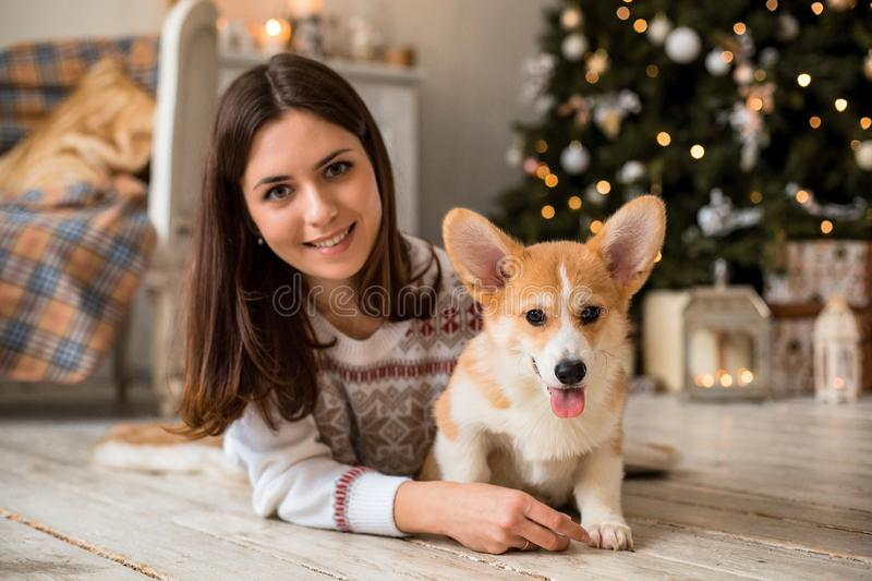 Little puppy Welsh Corgi Cardigan plays with his leash with a girl in a white sweater. In front of a fireplace and a Christmas tree stock images