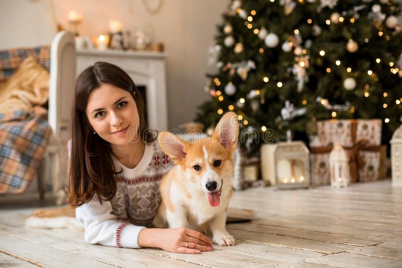 Little puppy Welsh Corgi Cardigan plays with his leash with a girl in a white sweater. In front of a fireplace and a Christmas tree royalty free stock image