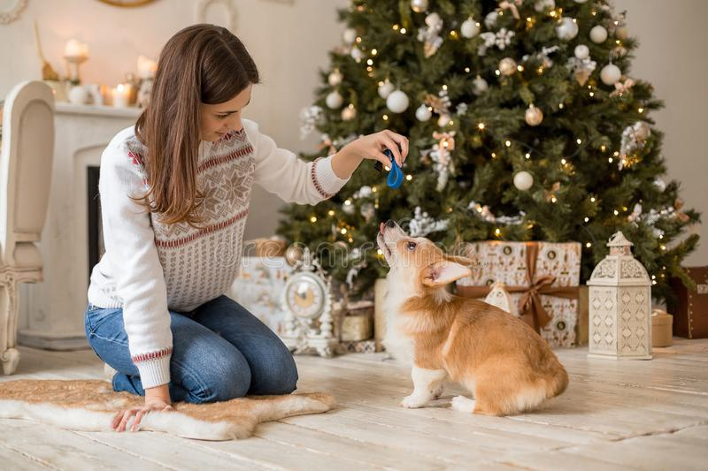 Little puppy Welsh Corgi Cardigan plays with his leash with a girl in a white sweater. In front of a fireplace and a Christmas tree stock photography