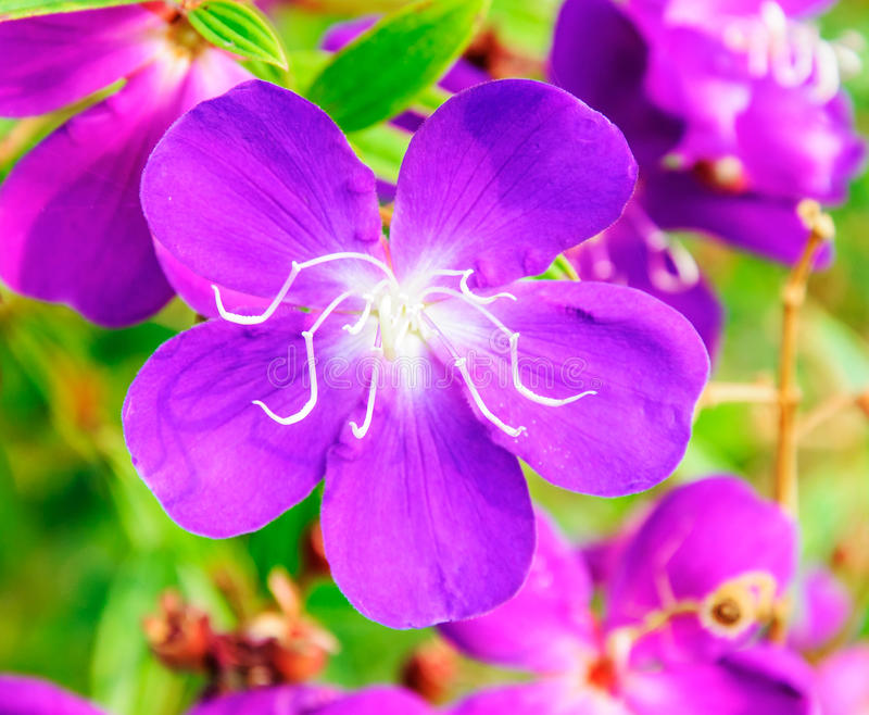 Little purple flower royalty free stock images