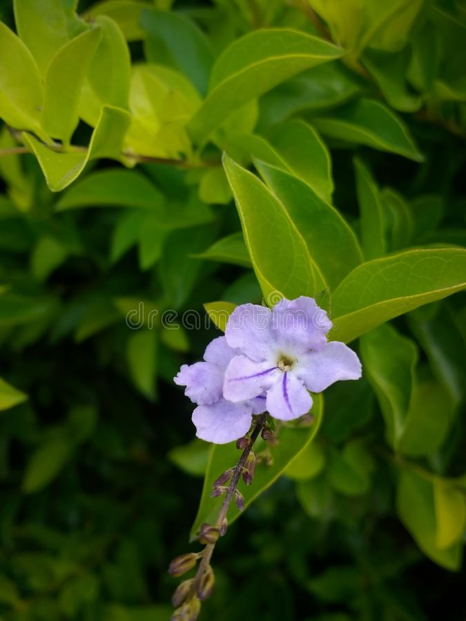 Little Purple Flower and leaves stock image