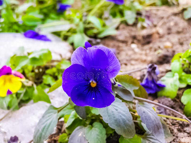 Little purple flower in winter. This is a little purple flower in nature. No flower was harmed stock images