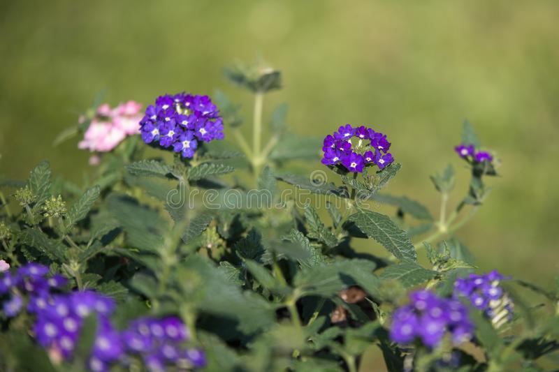 Little Purple Wildflowers and Green Leaves in a Garden stock images