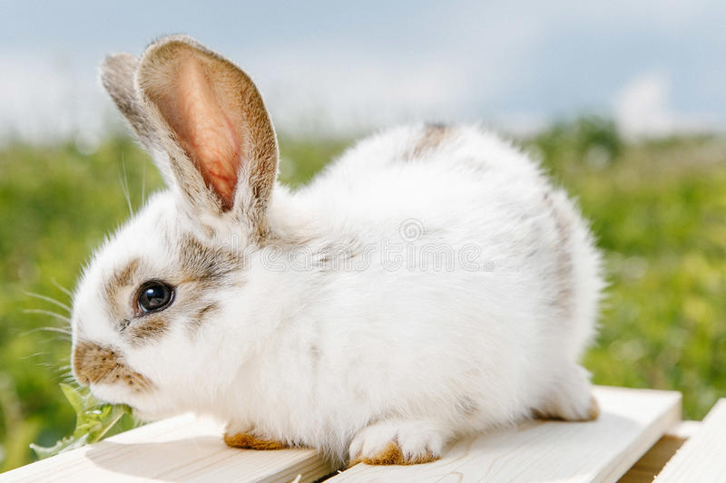 Little rabbit, black and white suit, a bunny eating a green grass, a pet in a wooden box. A small rabbit home, a black and white suit, a bunny eating a green royalty free stock photo