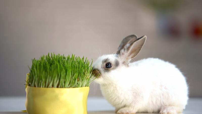 Little rabbit eating green organic grass, vitamins supplement, pet care, ecology. Stock photo royalty free stock photography