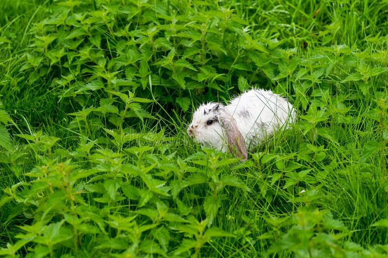 Little white rabbit after a thunderstorm royalty free stock images