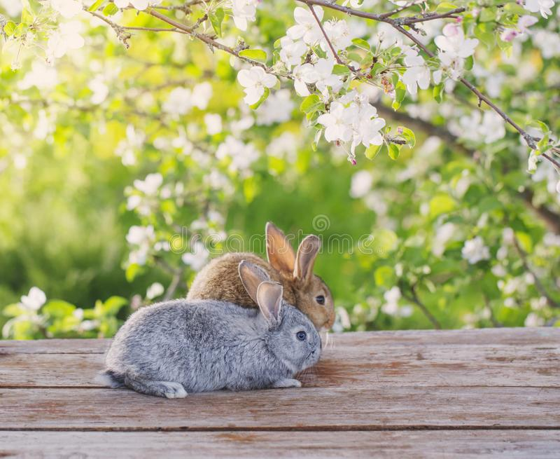 Little rabbit in spring orchard. Two little rabbits in spring orchard royalty free stock photo