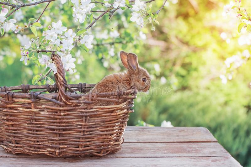 Little rabbit in spring orchard. Red little rabbit in spring orchard stock photos