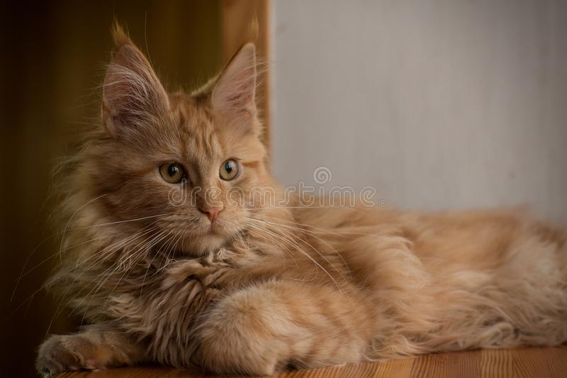 Maine Coon`s Little Red Kitten stock images