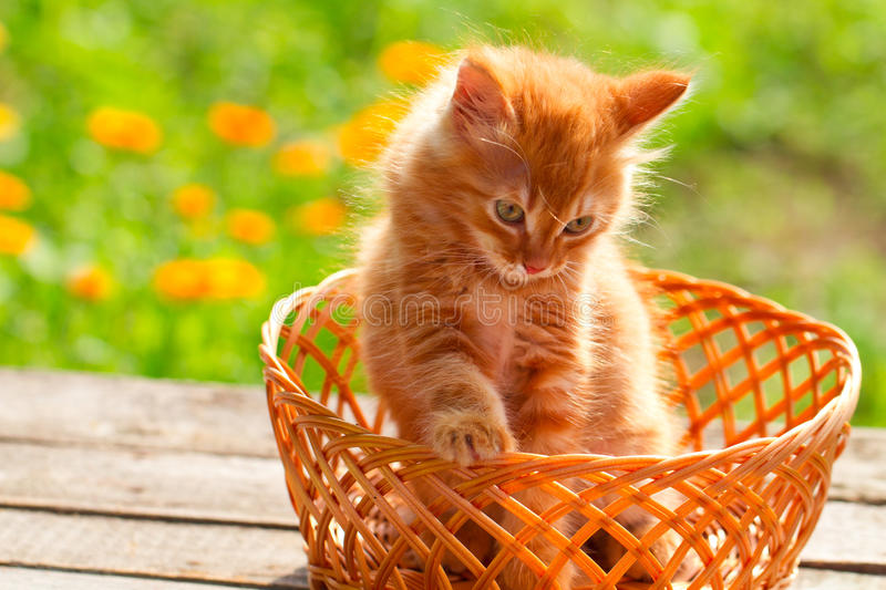 Little red cat in a wicker basket on green background outdoors. Little red cat in a wicker basket on green grass outdoors royalty free stock image