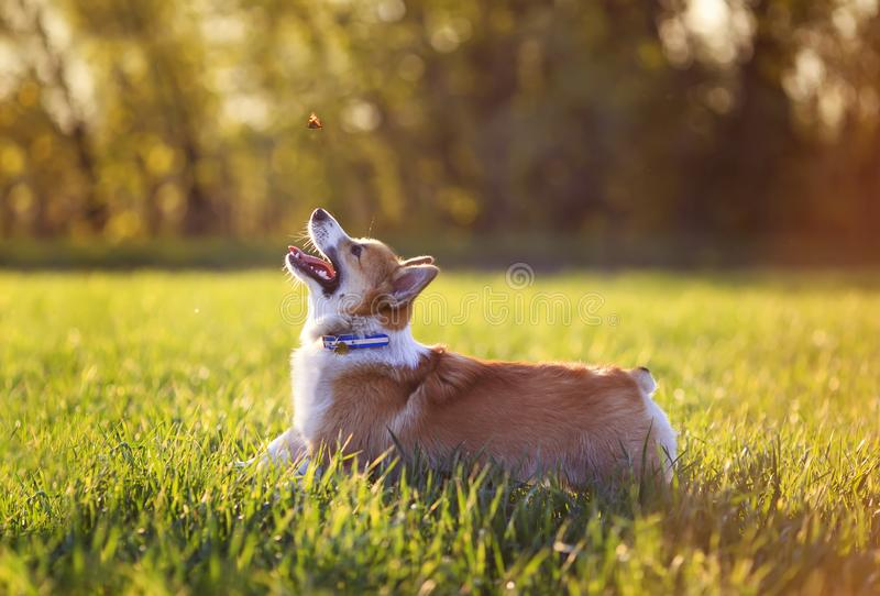 Red dog puppy Corgi fun running on a green meadow and jumping over a flying butterfly in a summer meadow in the grass. Little dog puppy Corgi fun running on a stock photos