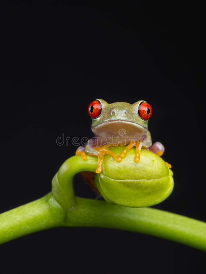 Little Red Eye on Bud stock photos
