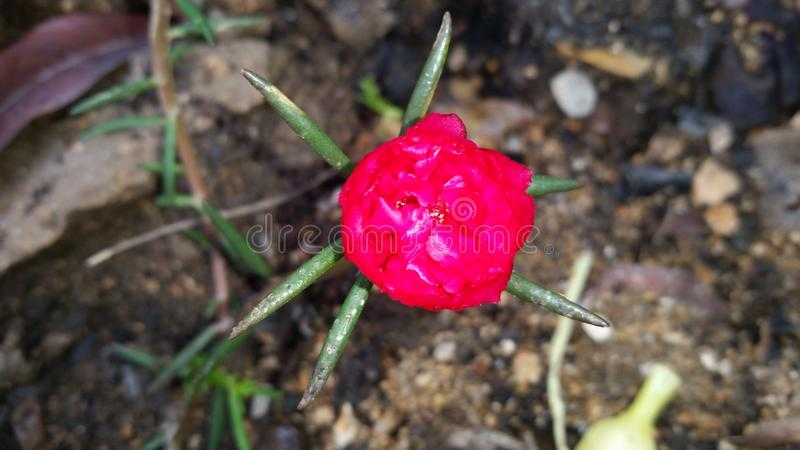 Little red flower royalty free stock image