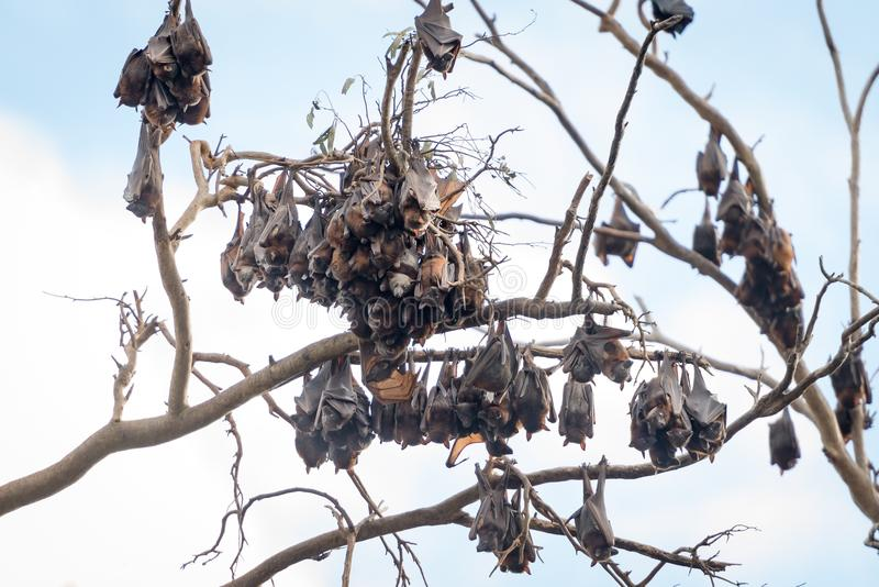 Flying-foxes or fruit bats in a tree royalty free stock images