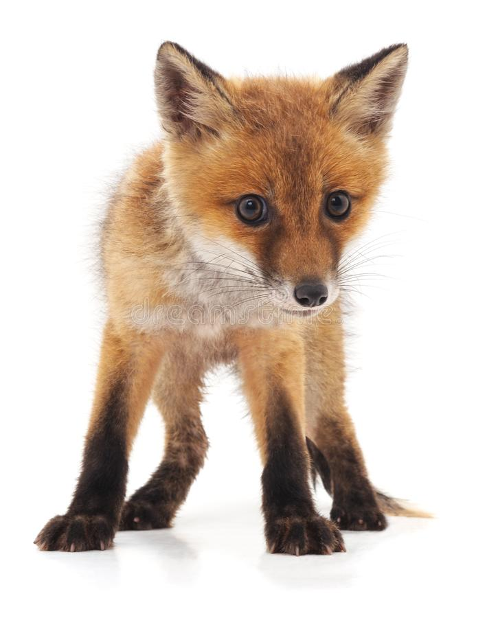 Free Little Red Fox. Royalty Free Stock Image - 126921676