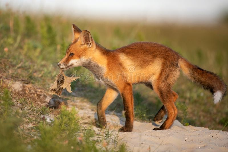 Little Red Fox near his hole in beautiful evening light.  stock photography